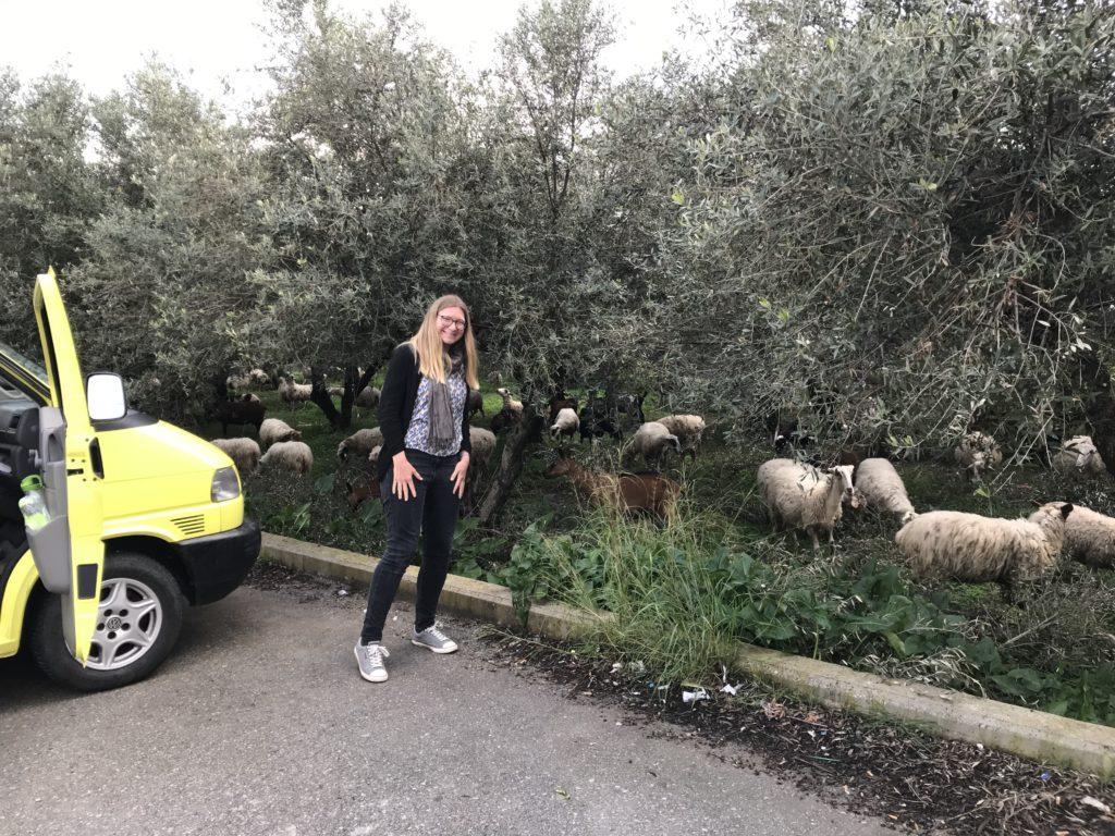 Emsige Schafe und Ziegen im Olivenhain hinterm Supermarktparkplatz mit akutem Futterneid